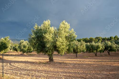 Staande foto Cappuccino Olive tree