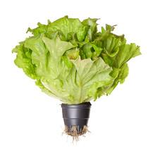 Batavia Red, Living Salad, Fro...
