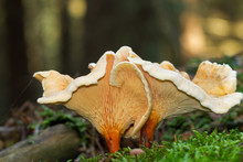 Two False Chanterelles In A Forest