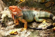 Orange Headed Iguana In Costa Rica