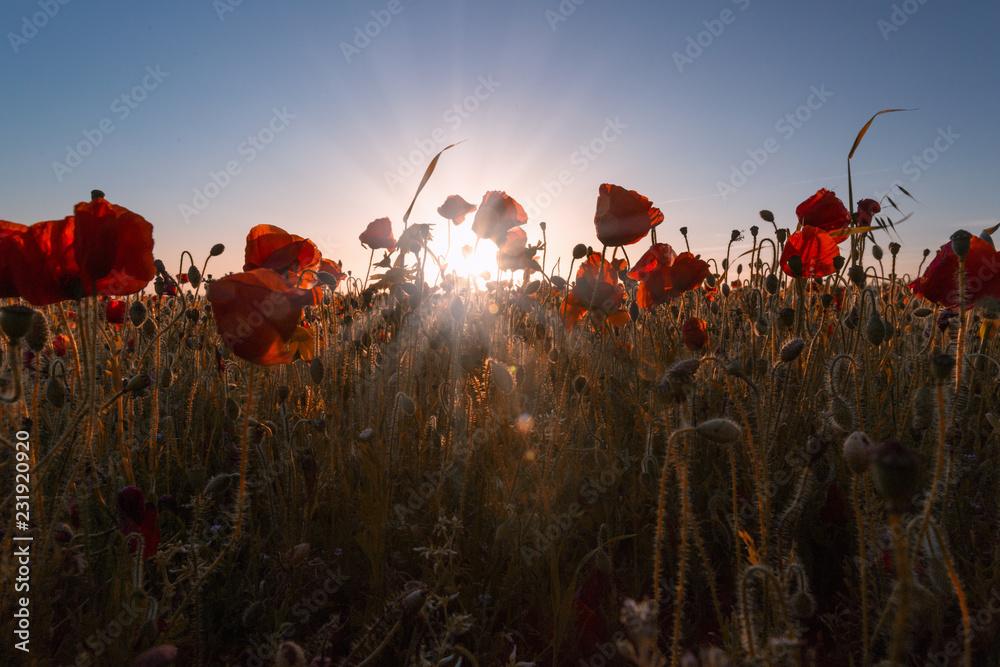 Fototapeta Poppy fields, poppies in cornwall england uk  - obraz na płótnie