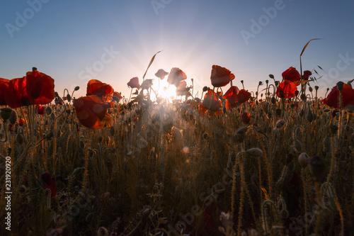 Fototapeta Poppy fields, poppies in cornwall england uk  obraz na płótnie