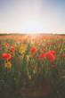 Poppy fields, poppies in cornwall england uk