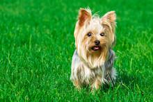 Portrait Of A Dog Breed Yorksh...
