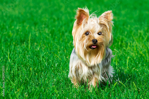 Canvas Print portrait of a dog breed Yorkshire Terrier, on a background of green lawn