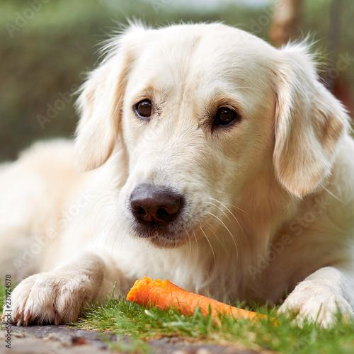 Fotografie, Obraz  Hübscher Golden Retriever frisst eine Karotte