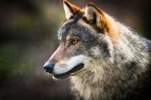 Scary Dark Gray Wolf (Canis Lu...