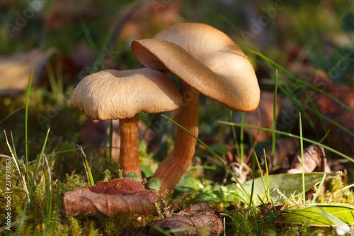 Fotografie, Obraz  Champignons panéole des moissons dans l'herbe en automne