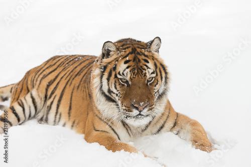 Keuken foto achterwand Tijger Siberian Tiger in Snowy forest