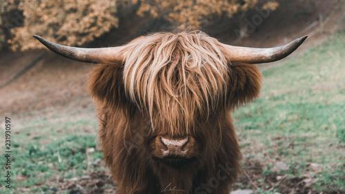 Fototapeta The Bull obraz