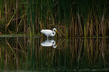 A Great Egret Reflects In The Water As It Fishes. These Large White Herons Will Stalk Along A Shoreline Hunting For Fish And Frogs.