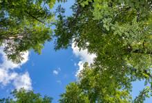 Crowns Of Tall Foliar Trees Ab...