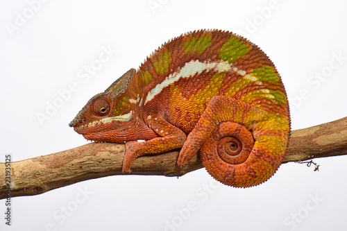 Recess Fitting Chameleon Pantherchamäleon (Furcifer pardalis) - Panther chameleon