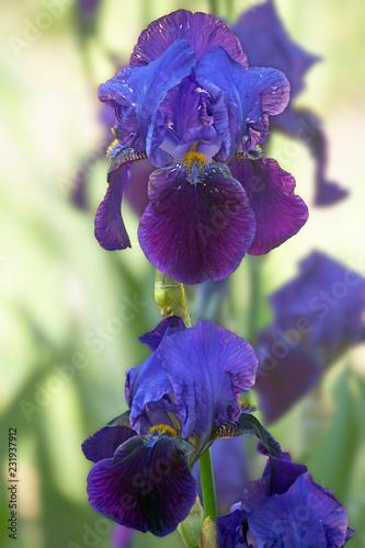 In de dag Iris Iris flower