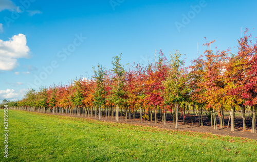 Long rows of young oak avenue trees in varied colors supported by bamboo sticks