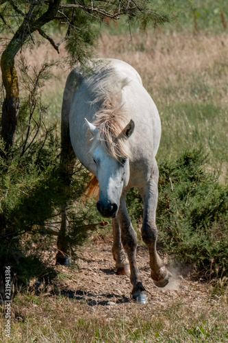 Fotografie, Obraz  Wild horse in french delta