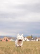 happy white dog running down in autumn nature
