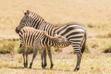 Baby Zebra Sucking Milk