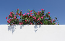 Oleander Bush And White Wall