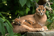 Caracal - Cat With Three Kittens