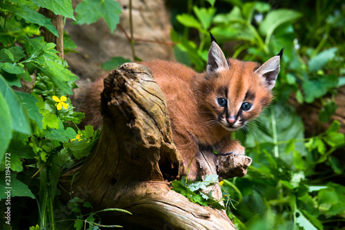 Caracal - kitten