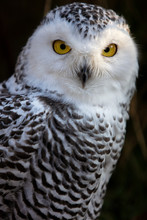 Snowy Owl. Close Up Portrait Image Of Snowy Owl On The Dark Background.