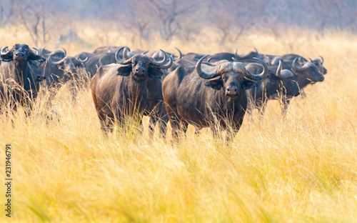 Keuken foto achterwand Buffel eine Herde afrikanischer Büffel, Syncerus cafferi, schaut neugierig am Kwando River, Region Sambesi, Namibia