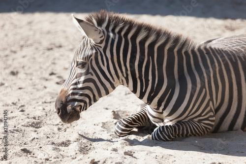 Zebra in Budapest Zoo