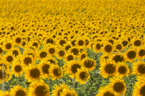 Tuinposter Cultuur Sunflowers field