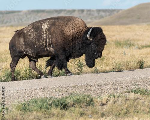 Bison in Grasslands National Park