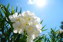 Oleander  White Flower From Croatia In Bright Sunshine Macro Illustration