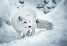 Adult Polar Fox On White Snow Unfocused Background