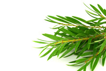 Tea Tree (Melaleuca) Branch And Leaves. Isolated On White Background, With Added Space For Sign, Text Or Logotype.