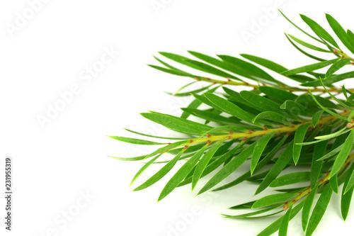 Fotografia  Tea Tree (Melaleuca) Branch and Leaves