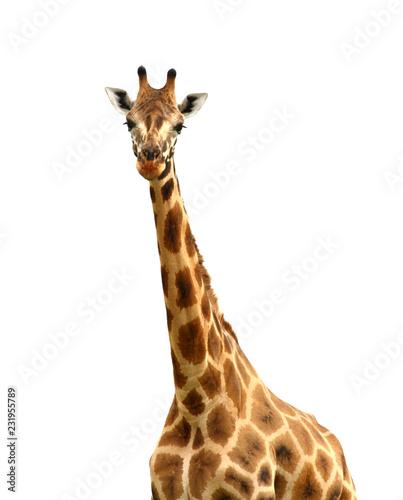 Staande foto Giraffe Isolated Giraffe Looking at Camera