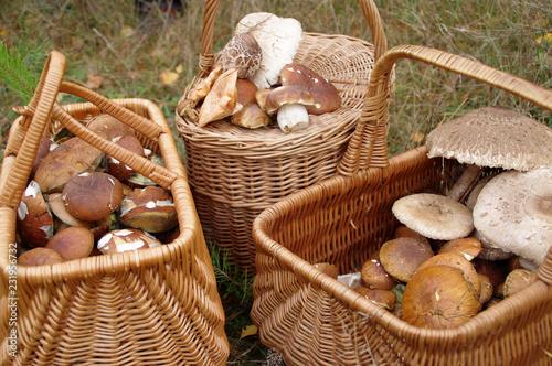 Obraz na plátně Autumn mushrooming