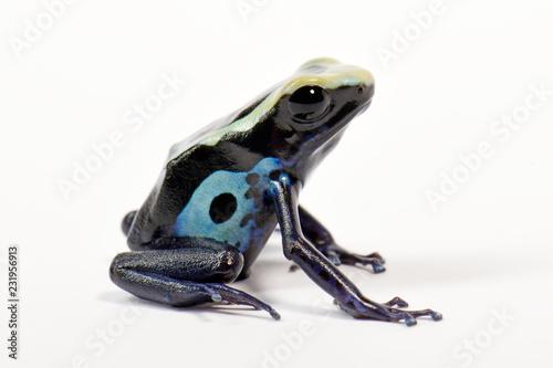 Färberfrosch Dasha (Dendrobates tinctorius) - Dyeing dart frog ...