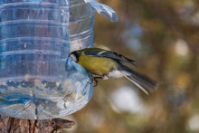 Bird Eats From The Feeder In Winter. Shooting With Freezing Birds In Flight. The Benefits Of Feeding Animals In Cold Weather.