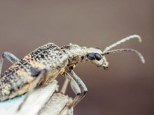 Beetle Close Up. Insects Macro Shot. Shallow Depth Of Field. Gray Bug With Long Mustache.