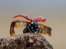 Ladybug Beetle Spread Its Wing...