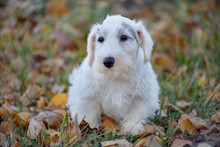 Cute Sealyham Terrier Puppy Cl...