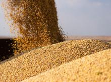 Pouring Soy Bean Grain