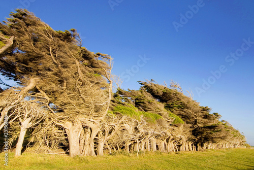 Valokuva  Windswept trees near Slope Point the southernmost point of the South Island, The Catlins New Zealand