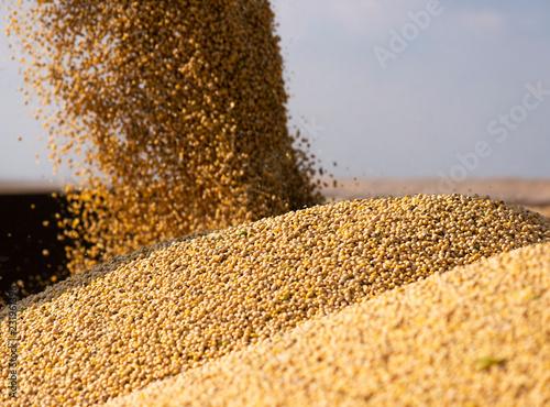 Fotografie, Tablou Pouring soy bean grain