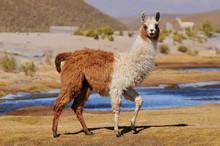 Llama (Lama Glama) Near The La...