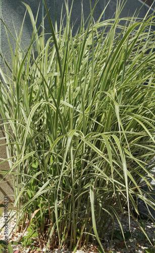 Fotografie, Obraz Carex 'ice dance'