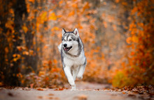 Malamute Dog Outdoors