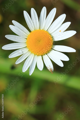 Beautiful daisy flower on sunny summer day close-up