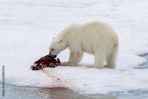 Polar bear eating seal on pack ice