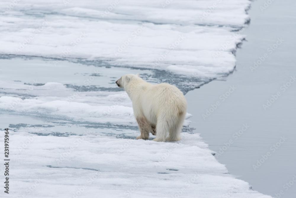 Polar bear (Ursus maritimus) going on the pack ice north of Spitsbergen Island, Svalbard